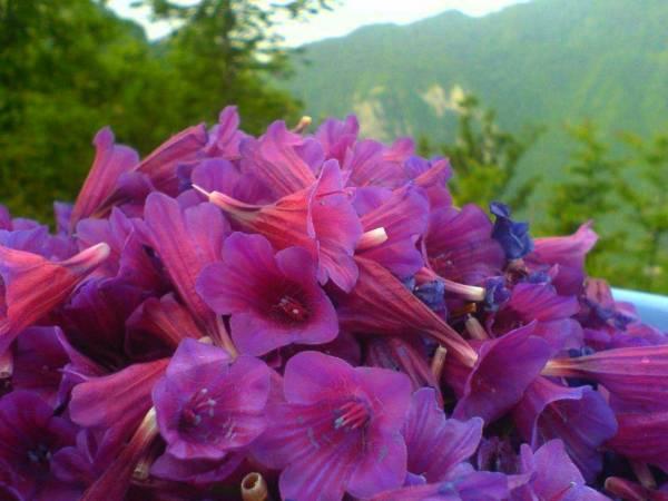 تمام خواص و فواید بی نظیر گل گاوزبان