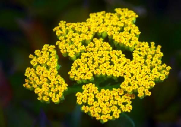 آنچه باید در مورد خواص ، فواید و عوارض گیاه داروییبومادرانباید بدانید